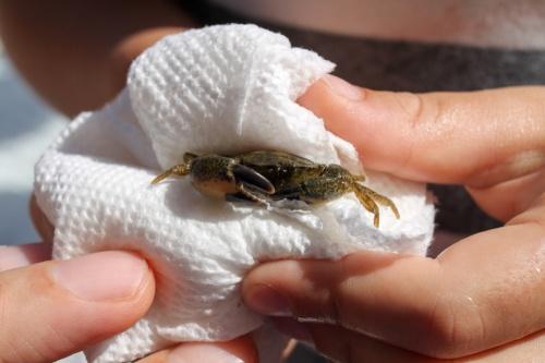 Paper Towel and Crab